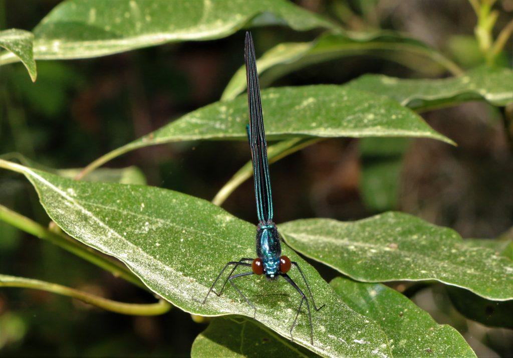 blackwinged damselfly