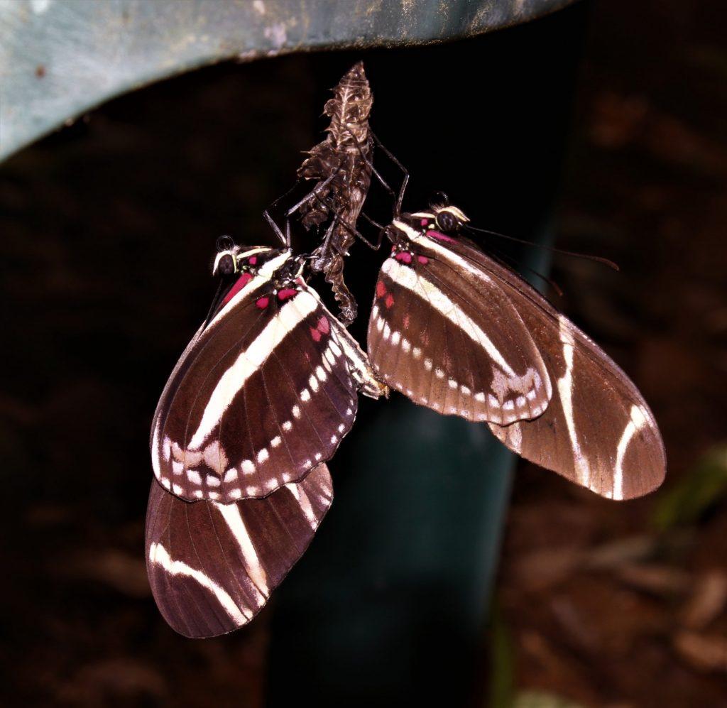mating zebra longwings