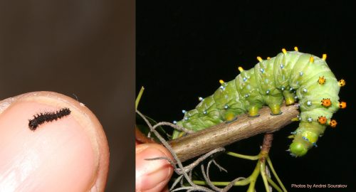 cecropia increase in size caterpillars