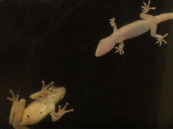 Cuban Frog vs Gecko