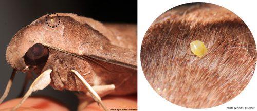 mite-sphinx moth-fg