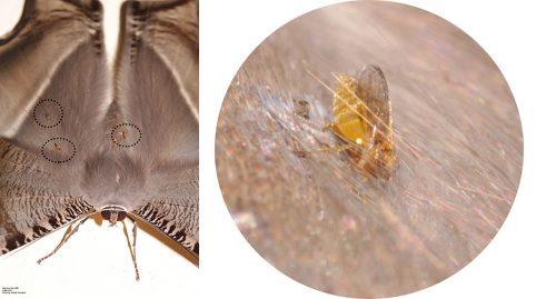collage-biting midge-lissa zampa