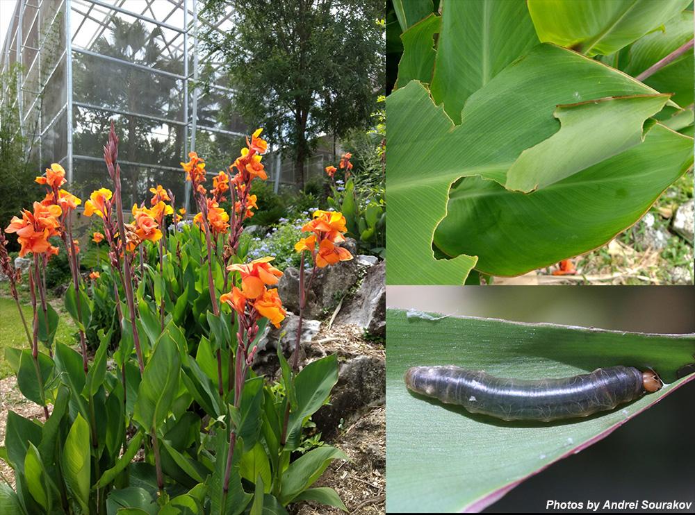 Brazilian skipper cana lilies