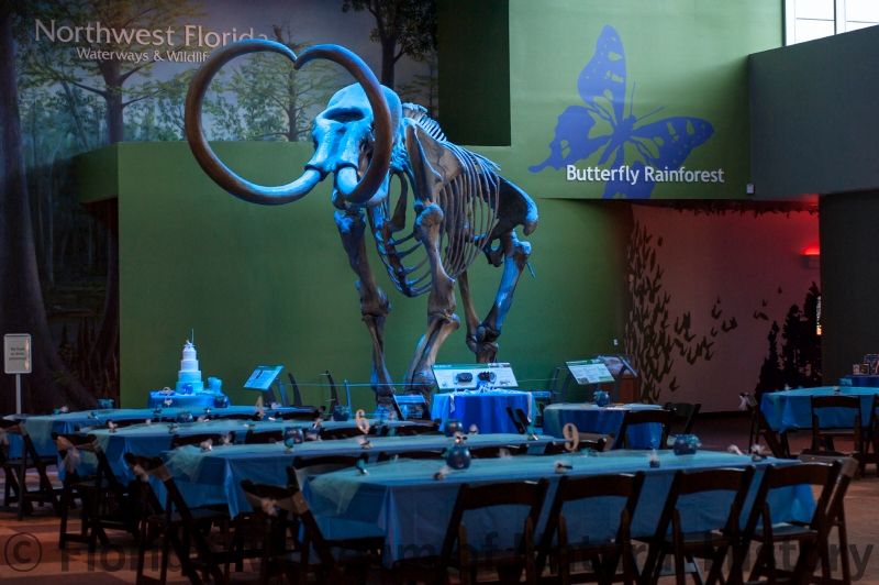Wedding Reception in Denny with 8' banquet tables covered in light blue linens, with the mammoth skeleton lit in light blue