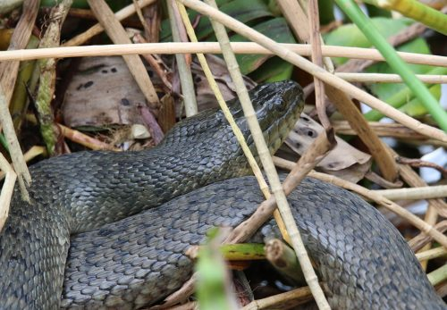 dark snake in marsh