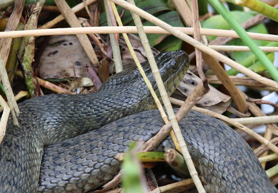 dark snake in marsh