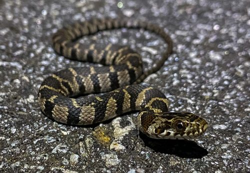 snake with blotched pattern blending with road surface