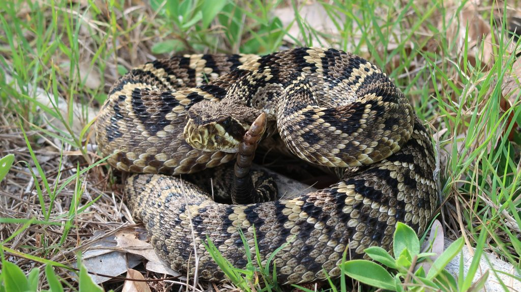 coiled rattlesnake with raised tail