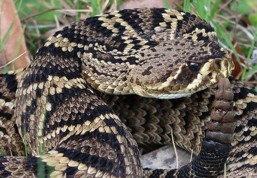 Eastern Diamond-backed Rattlesnake – Florida Snake ID Guide