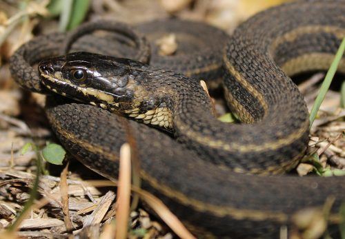 Saltmarsh watersnake