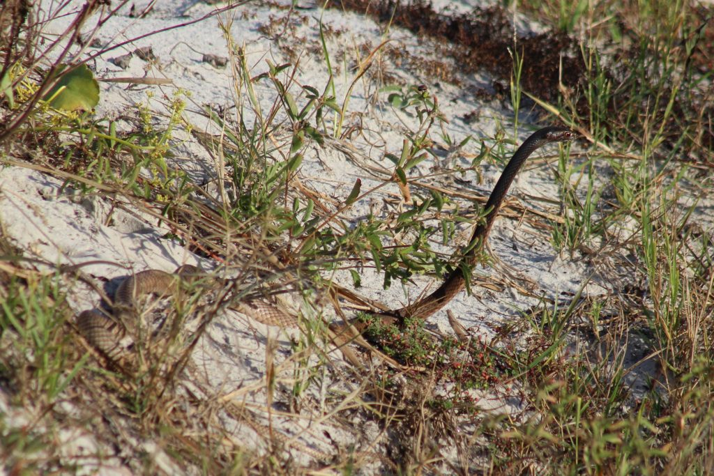 snake with its head raised above the grass.