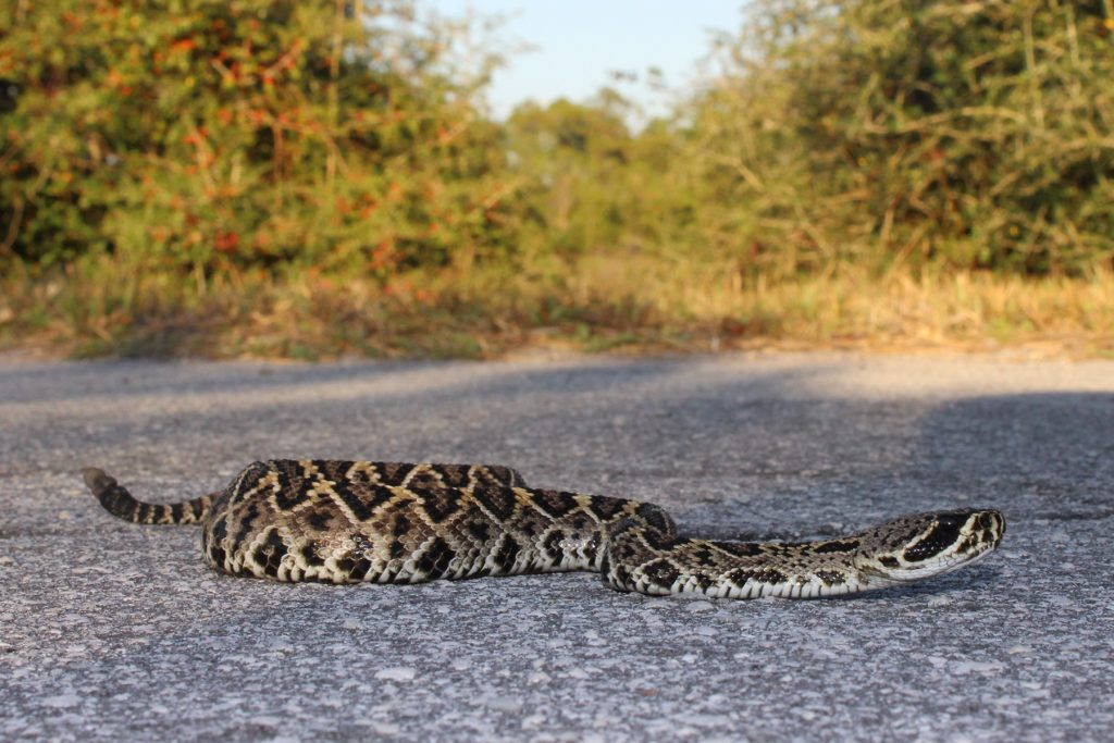 thick snake on a road