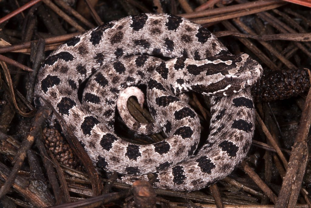 brown snake with dark brown spots