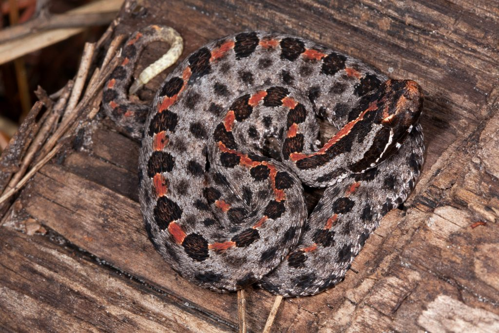 coiled snake with black and grey spots and a red stripe down the center of its back