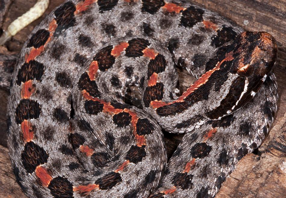 Pygmy rattlesnake.