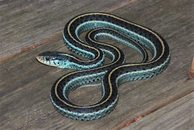 snake with black, blue and yellow stripes