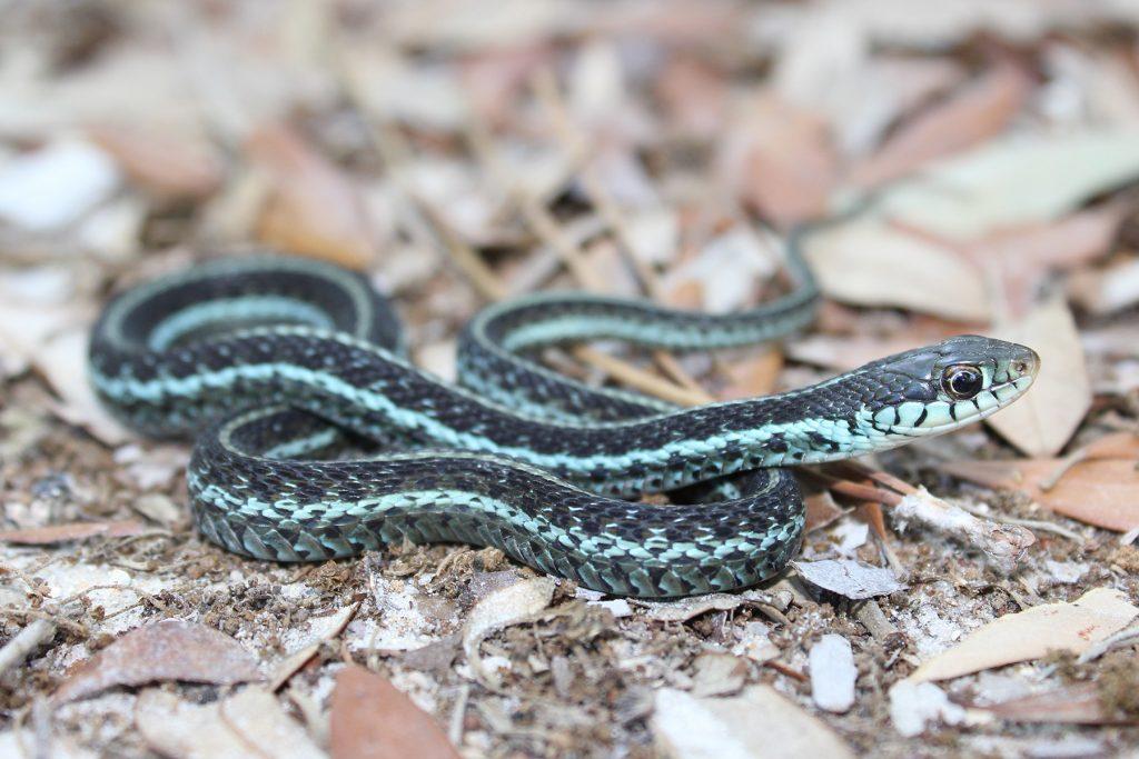 blue and black striped snake