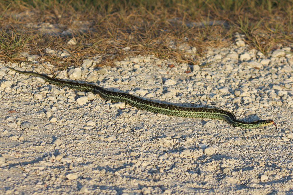 snake on gravel