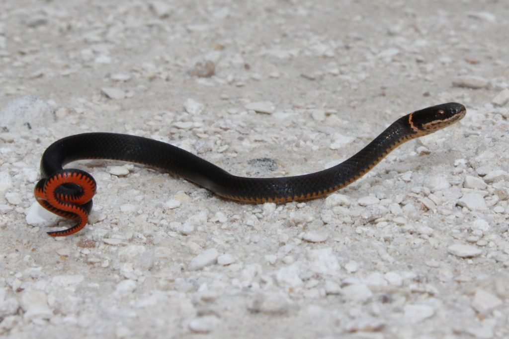black snake coiled to show orange belly.