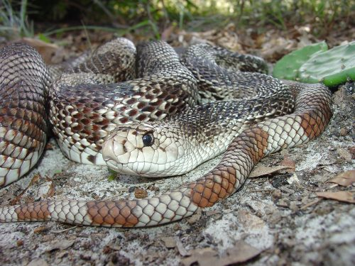 snake with brown and white markings coiled on the ground