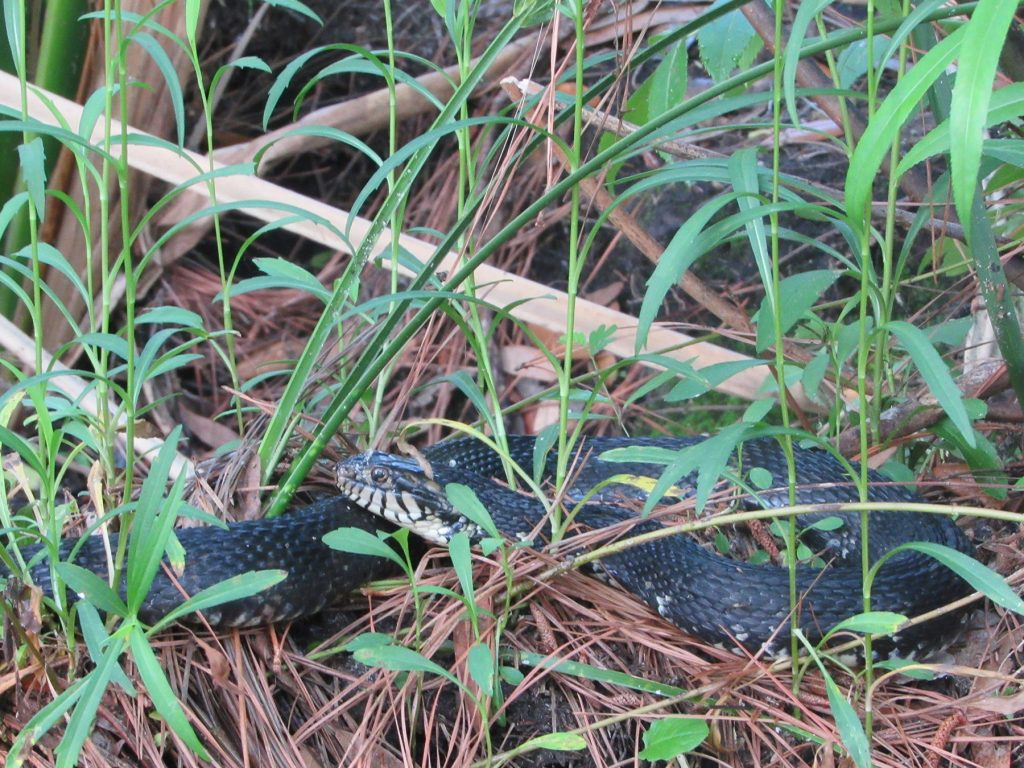 dark brown snake in tall grass
