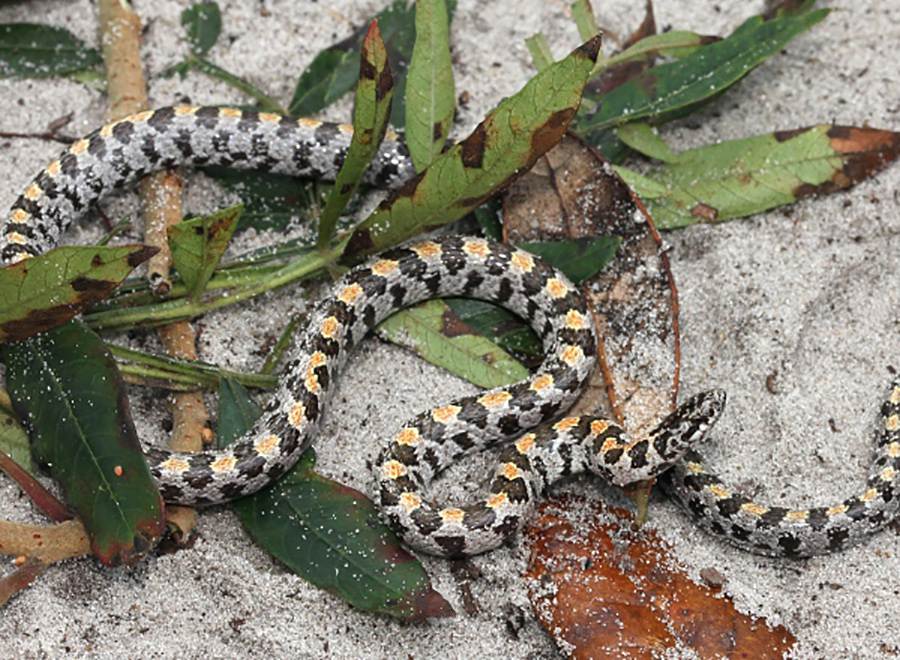 grey, black, and yellow snake on sand