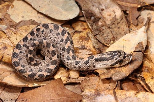 small snake with spots and a snubnose