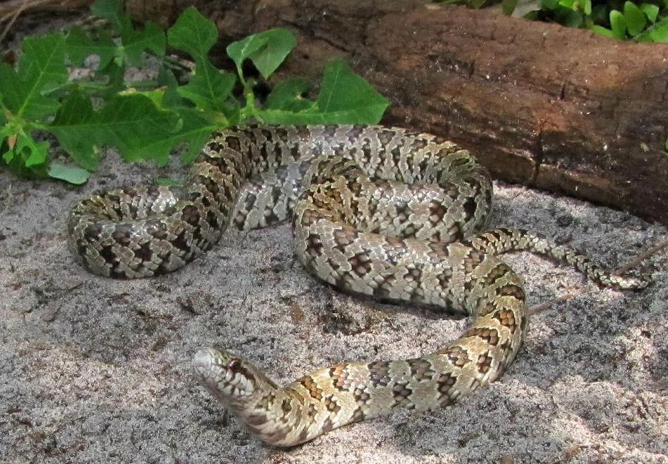 light colored snake on sand