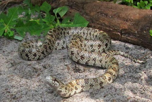 light colored snake on shady sand
