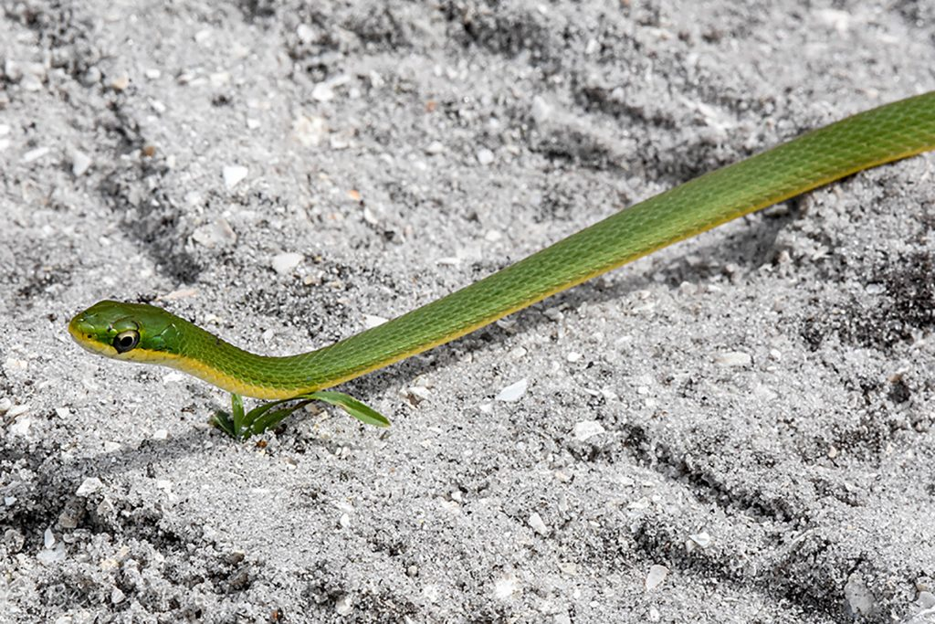 long thin green snake with yellow belly