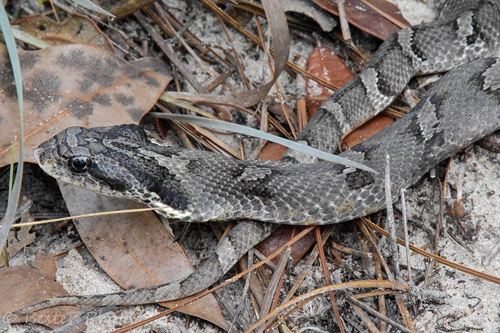 gray snake with dark grey markings