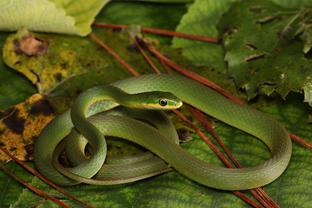 coiled long thin green snake