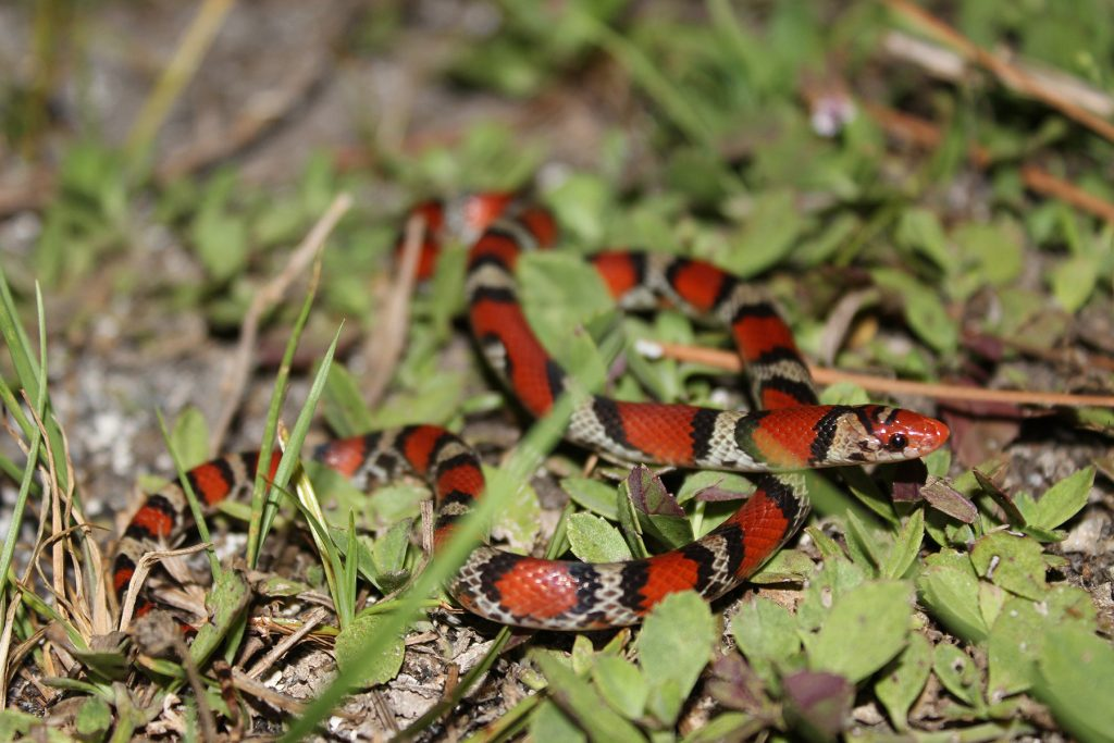 black, red, and yellow snake in the grass