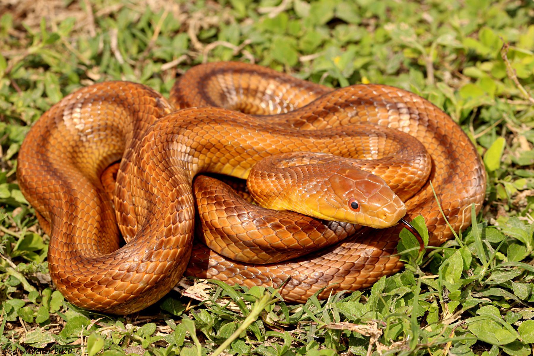 Eastern Ratsnake U2013 Florida Snake ID Guide