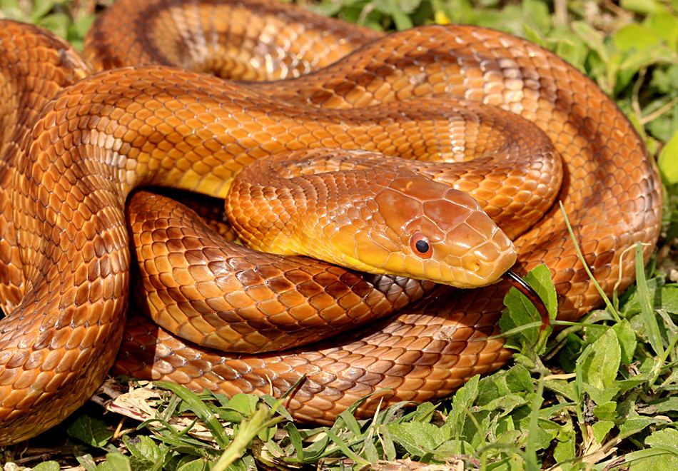 coiled snake showing black and red tongue