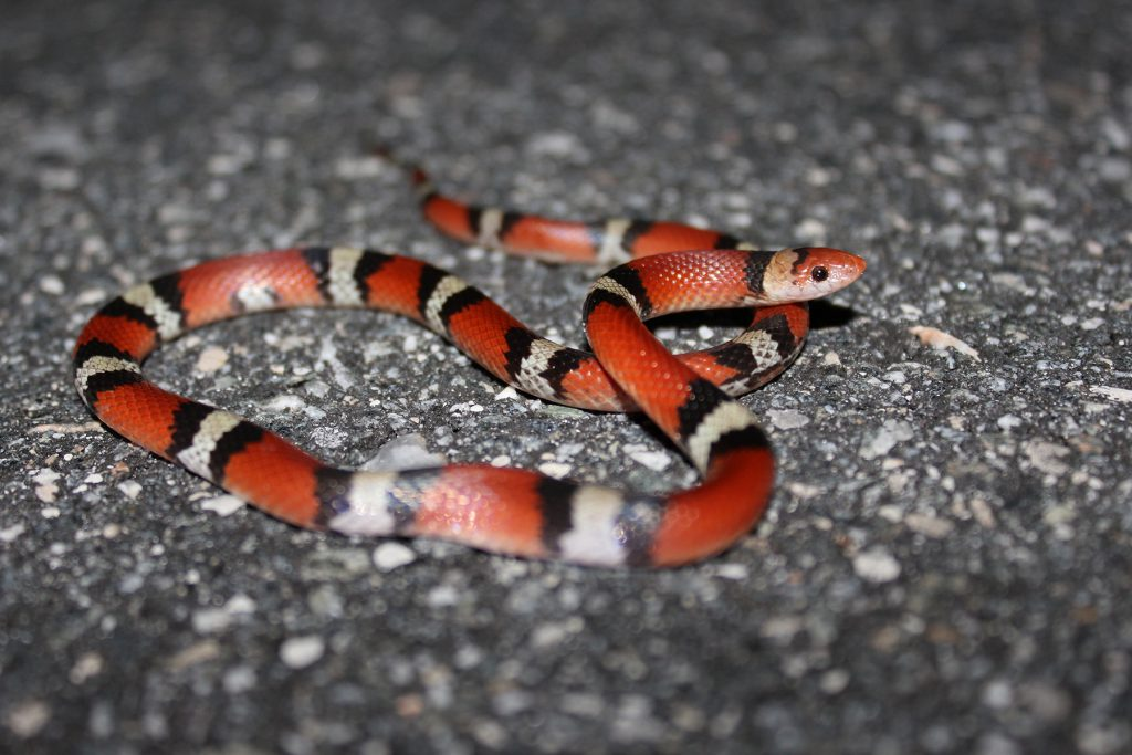 black, red, and yellow snake on a road.