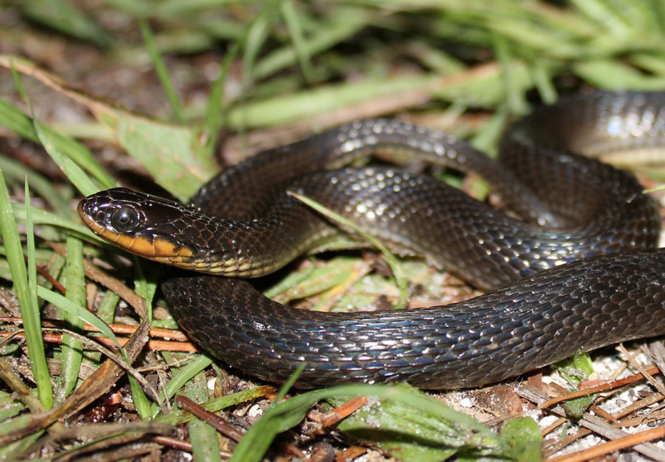 small black snake with yellow belly