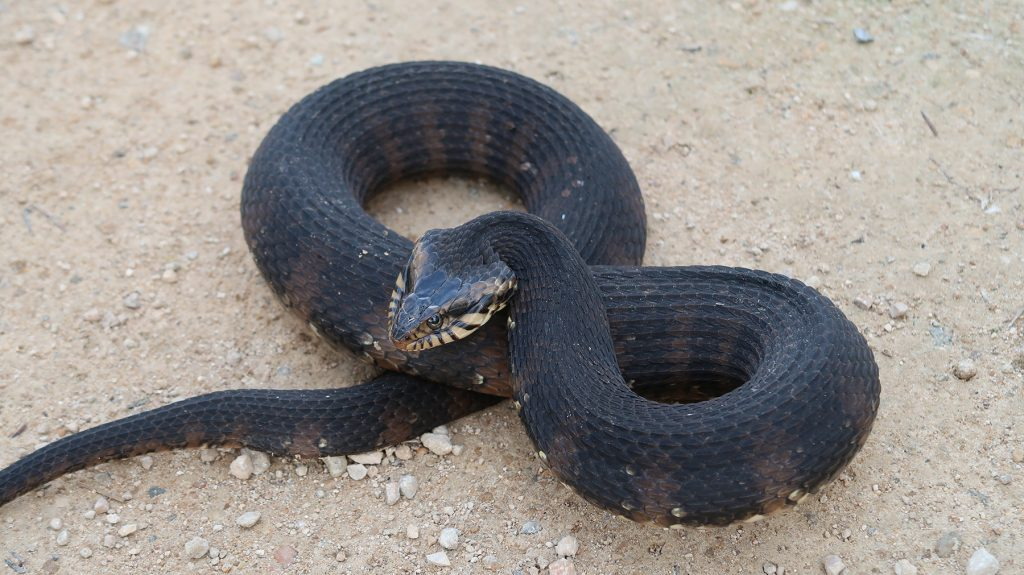 coiled snake with raised head