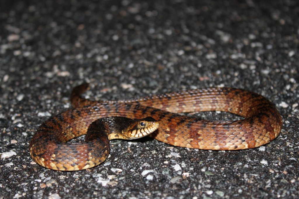 small snake with brown and reddish brown coloring