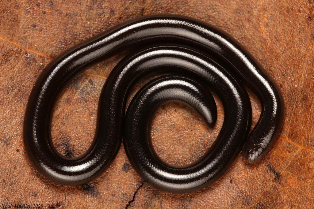 thin shiny black snake