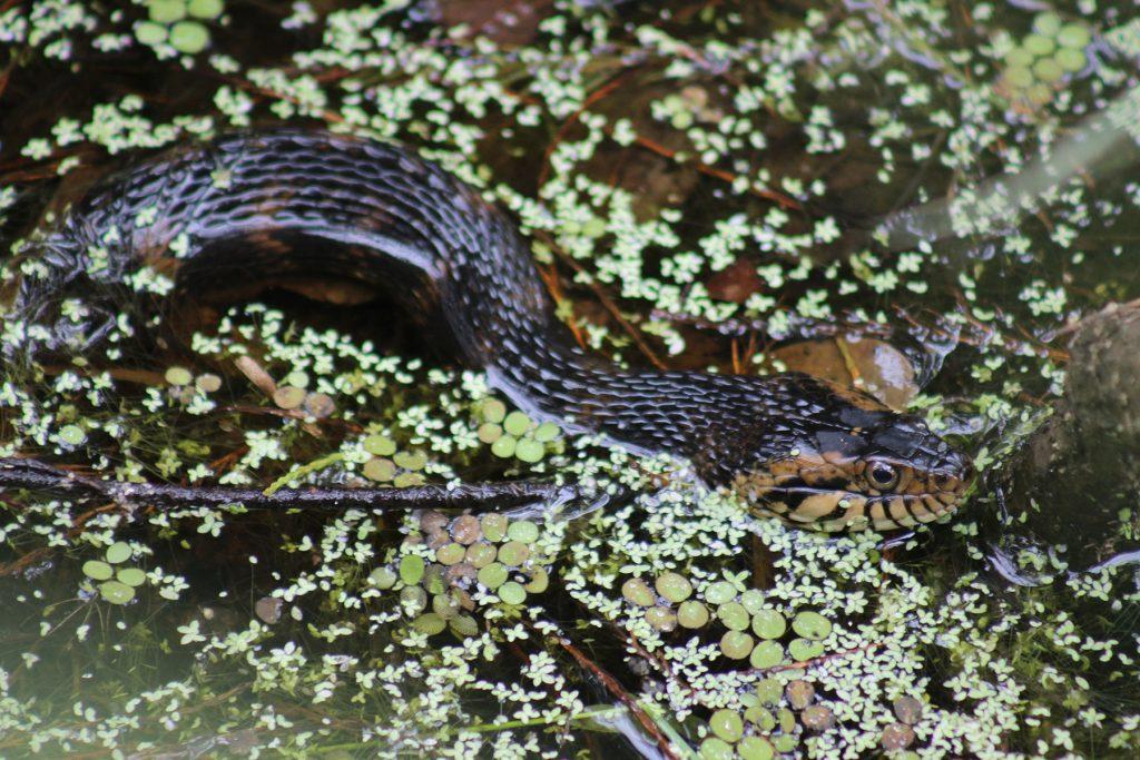 snake in water