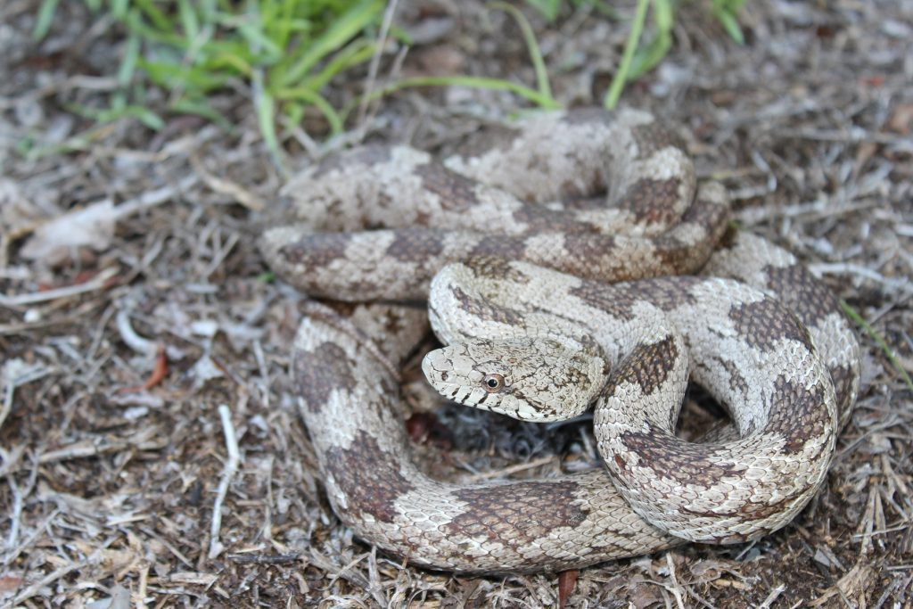coiled gray and brown snake