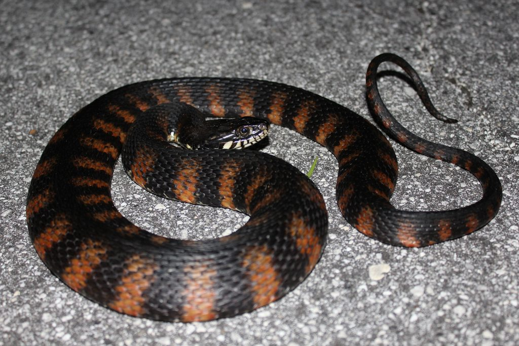 coiled snake with dark brown and reddish stripes