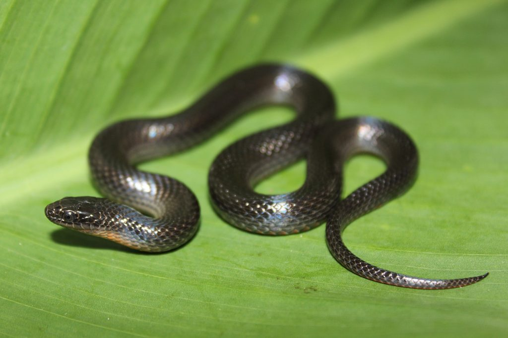 small black snake