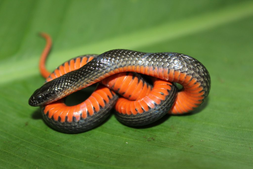 small black snake with an orange belly