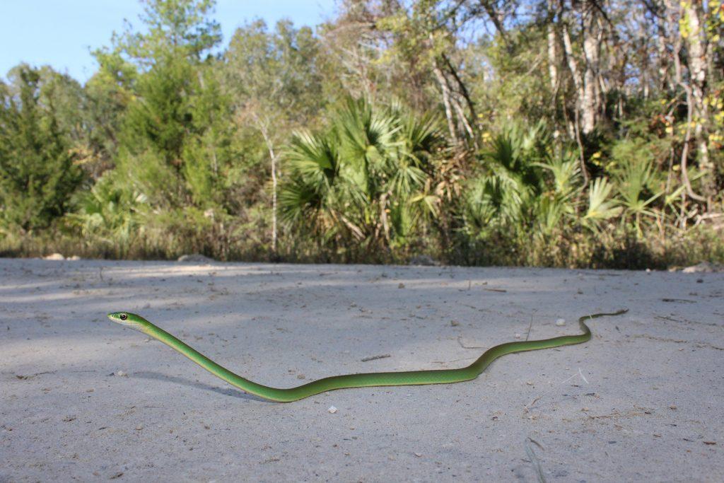 long thin green snake on sand.