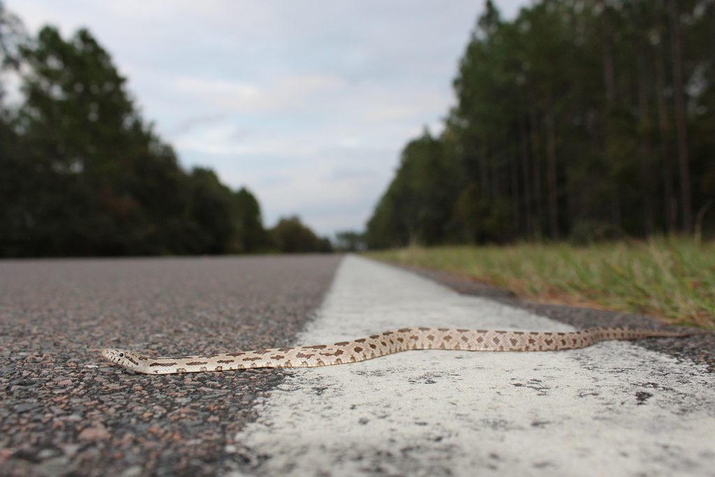 snake on the road