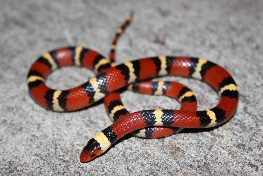 snake with red black and yellow rings