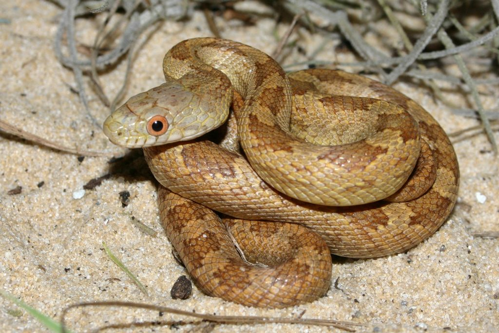 coiled yellow-brown snake