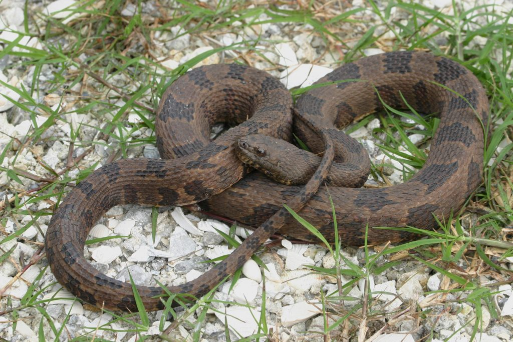 coiled brown snake with dark brown markings